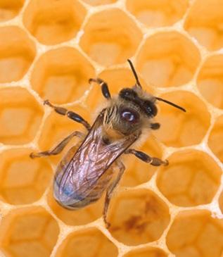 پاورپوینت طرح توجیهی پرورش و نگهداری زنبور عسل