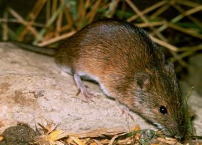 پاورپوینت بررسی خسارت موش ورامین به کشاورزی